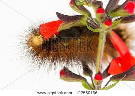 Caterpillar Eating Red Flower Petals