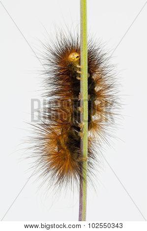 Underside Of Brown Caterpillar