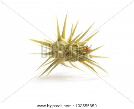 Isolated prickly. Element of design.