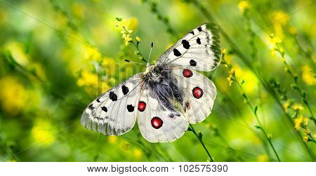 Butterfly Perched On Yellow Flowers Panoramic View