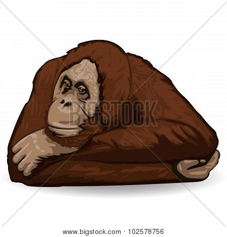 Orangutan lies back up with folded hands behind his head.