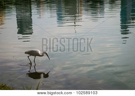 An egret is walking in a pond