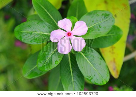 periwinkle around by leaves