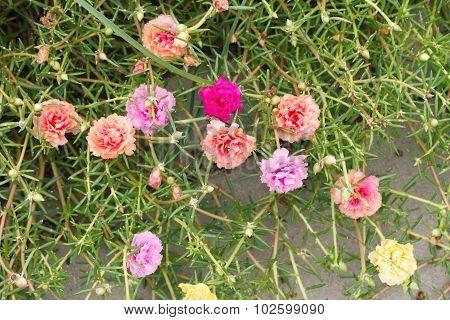 Pink Portulaca Flowers Background.