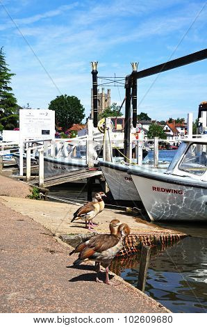 Two Egyptian geese on riverbank, Henley-on-Thames.