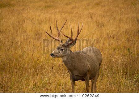 Mule Deer Buck With Red Antlers