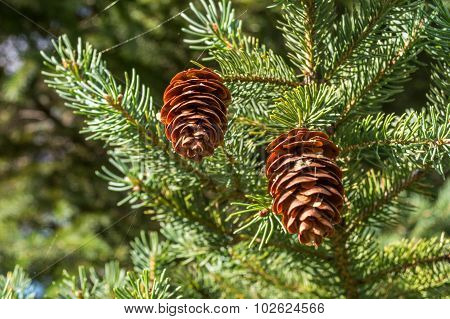 Pair of Pine Cones