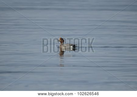 Wigeon Anas penelope swimming in the sea quacking