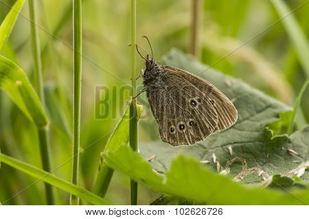 Ringlet butterfly in the grass in the summertime