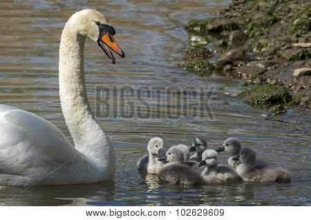 Mute swan Cygnus olor on the river with seven Cygnets