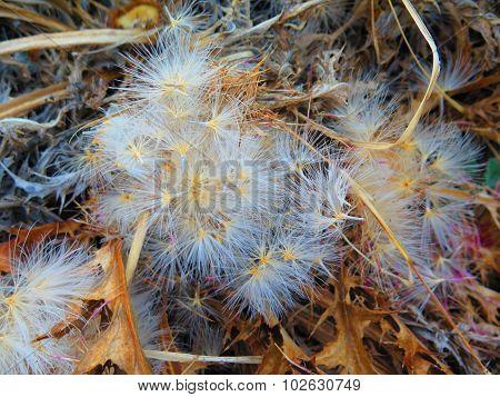 Blue Thistle Flower Seeds