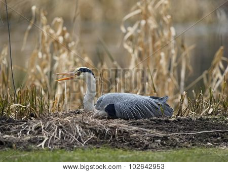 Grey Heron lying in front of reeds squawking