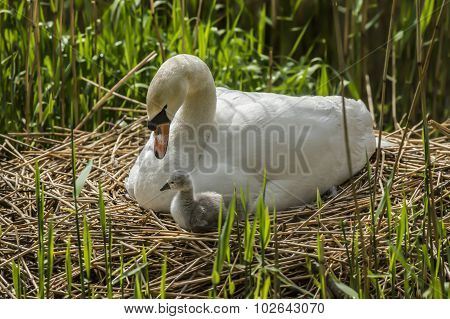Mute swan Cygnus olor with newly hatched Cygnet on the nest