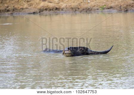 Wallowing Water Buffalo In A Waterhole