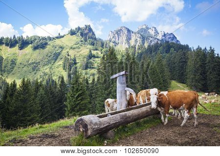 Dairy Cows In Front Of The Kampenwand