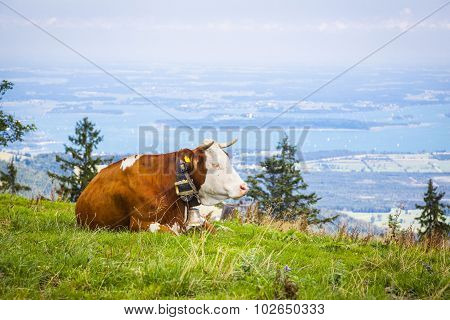 Dairy Cow In Front Of Lake Chiemsee