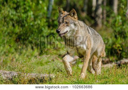 Lone Grey Wolf (canis Lupus) In Natural Habitat