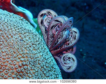 Feather Star