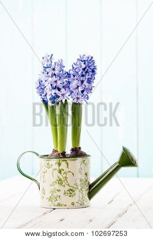 Blue Hyacinth In A Watering Can.