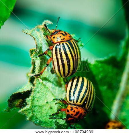 Two Colorado Potato Striped Beetles - Leptinotarsa Decemlineata