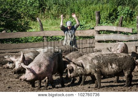 A Farm Worker Drives Away The From Itself Dirty Pigs.