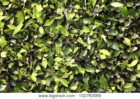 Natural Green Leaf Hedge Seamless Wall. The perfect green hedge wall for wallpapers, computer backgrounds, and more. Hedges are loved by humans and animals around the world and are always organic.