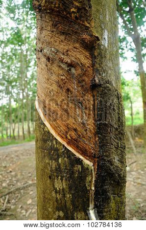 MALACCA, MALAYSIA - SEPTEMBER 25, 2015: Rubber trees or Hevea brasiliensis is plants that produce latex. Milky latex extracted from rubber tree or a.k.a Hevea Brasiliensis as a source of natural rubber. Rubber is the main economic resources of Malaysia. poster