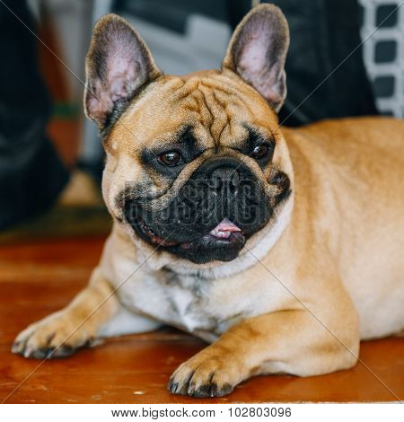 Funny Dog French Bulldog on floor inddor.