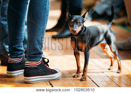 Small Young Black Miniature Pinscher Pincher dog staying on old
