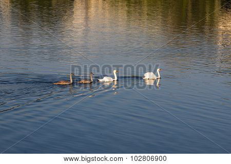 Family Of Swans In A Lake