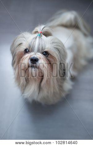 Shih tzu dog asking for something to eat. Focus on nose. poster
