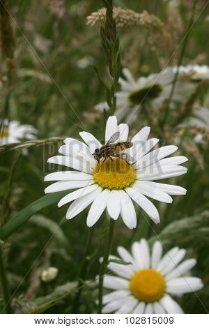 Ox-eye daisy with hoverfly