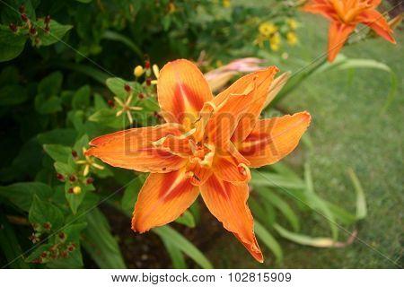 Orange daylily (Hemerocallis)
