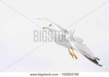 European Gull Flying