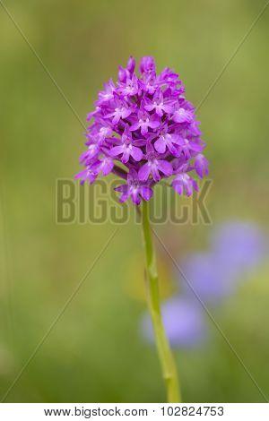 Pyramidal Orchid (Anacamptis pyramidalis) flowering in an Arboretum