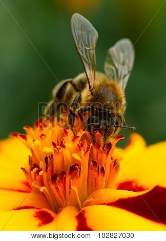 Bee Pollinating Marigold Flower Close-up
