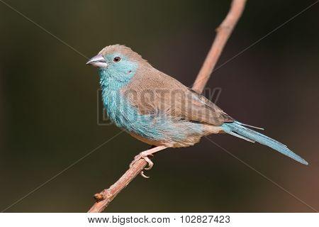 Female Blue Waxbill (uraeginthus Angolensis) Perched On A Branch