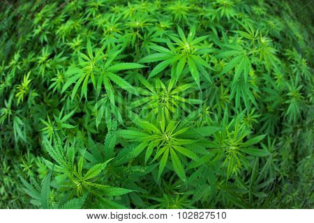 Green Marijuana Plants