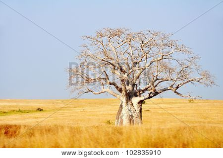 Big Boabab Tree in the Field