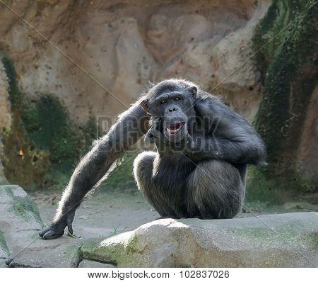 Chimpanzee Scratching Its Chin