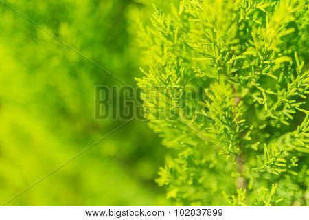 Evergreen thuja tree close up beautiful natural background poster