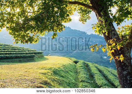 Maple Tree On The Hill In The Evening Early Autumn