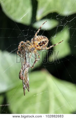Spider With Its Captured Dragonfly.