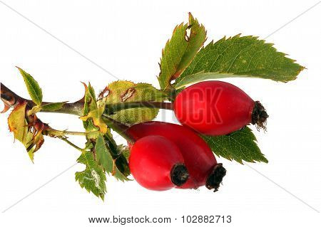 Three Red Rose Hips And Leaves