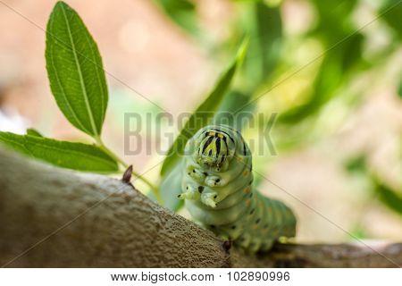 Caterpillar Papilio Machaon