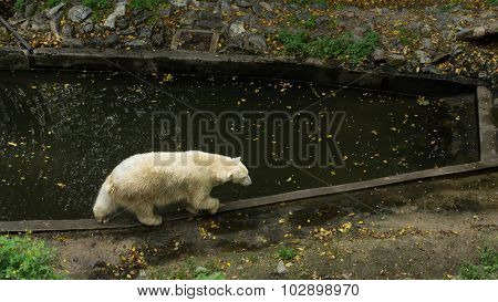 Ice bear walking on the edge of the pool