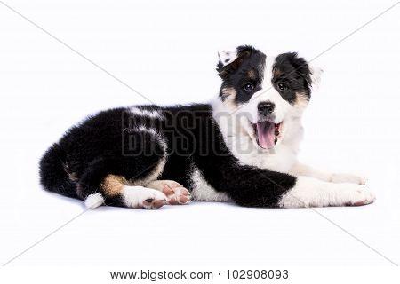 Cute Texas Heeler Puppy