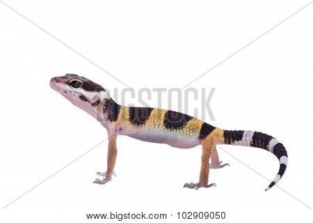 Leopard gecko Eublepharis macularius isolated