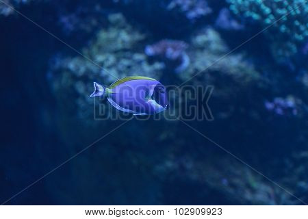 Powder blue tang, Acanthurus leucosternon