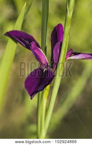 Louisiana Gamecock Iris Wildflower